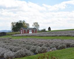 Travel Local: A Lavender Farm and Peaceful Escape