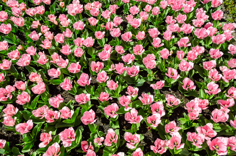Clusters of flowers at Keukenhof