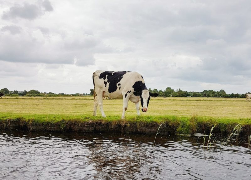 Cow in Waterland