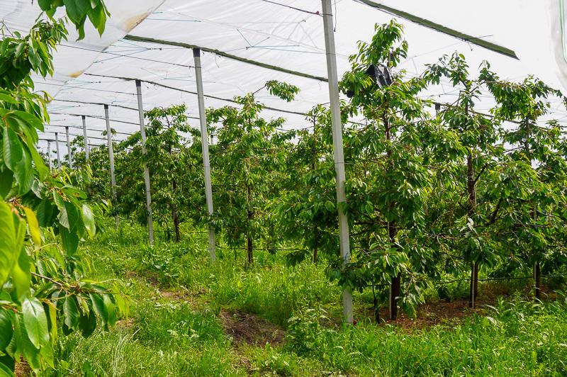 Apple trees in Trentino