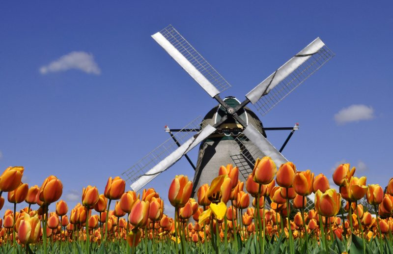 Tulips and windmill